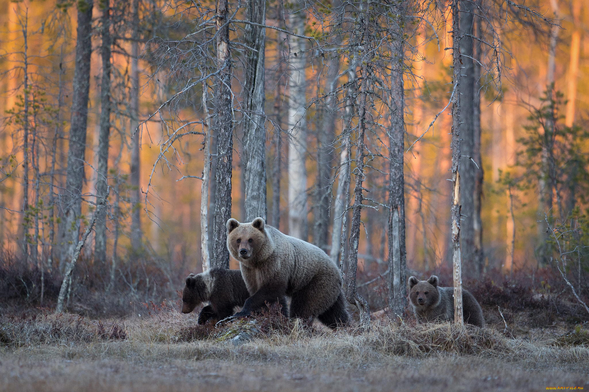 они медведи картинки большого формата вадимом познакомились